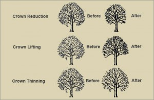 crown-reductions-thinning-lifting